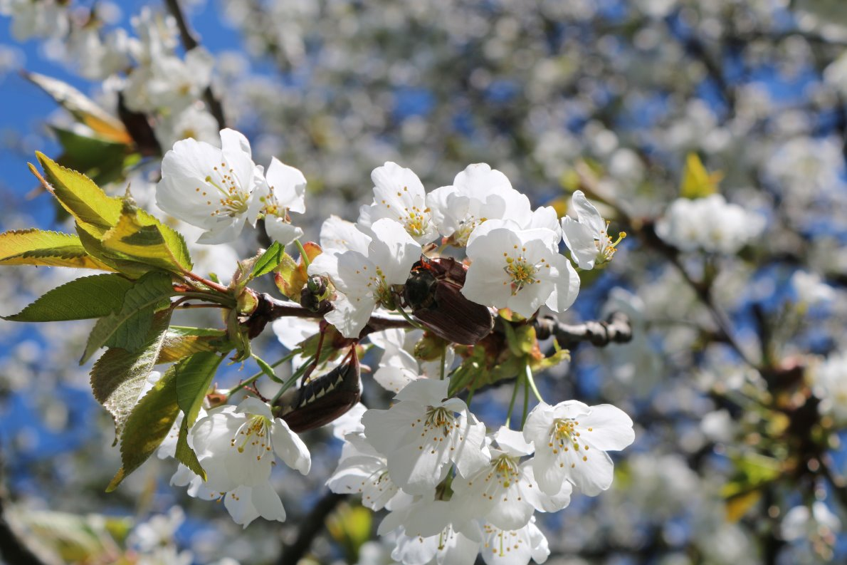 Frühling in Mieming - es grünt und blüht. Foto: Knut Kuckel